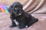 Oliver Male CKC Shihpoo $1500 Ready 5/6/16 AVAILABLE