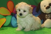 Alfie Male CKC Malshipoo $1750 Ready 5/21 HAS DEPOSIT MY NEW HOME NEW PORT, CT