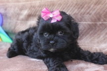 Karma Female CKC Malshipoo $1500 LABOR dAY sPECIAL $999 Ready May 5th SOLD NEW HOME JAX, FL