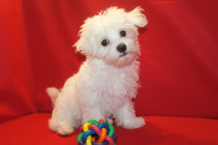 Magnum Male CKC Maltese $1750 ON $1250 SPECIAL Ready 5/13 SOLD MY NEW HOME JACKSONVILLE, FL