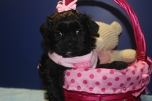 Karma Female CKC Malshipoo $1500 Ready May 5th AVAILABLE