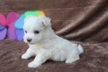 Magnum Male CKC Maltese $1750 Ready 5/13 AVAILABLE