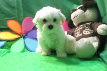 Marquis Male CKC Maltese $1750 Ready 5/13 SOLD MY NEW HOME ALMA, GA