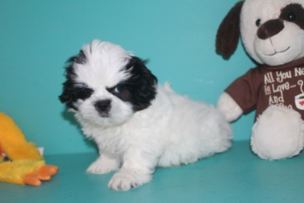 Panda Male Imperial CKC Shih Tzu $1750 Easter Special $1500 Ready 3/18 SOLD MY NEW HOME FERNANDINA, FL
