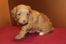 Cherry Female CKC Yorkipoo $1750 Ready 4/23 HAS DEPOSIT MY NEW HOME WEST PALM BCH, FL