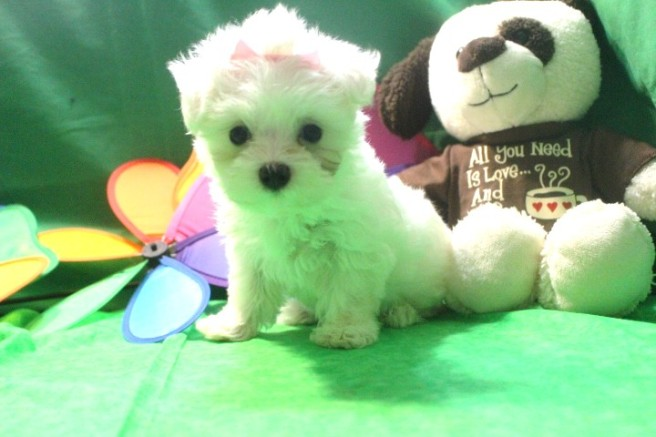 Maggie Female CKC Maltese $1750 Ready May 13th SOLD MY NEW HOME IS WARRENSBURG, MO