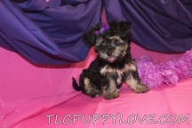 Cleo Female CKC Havanese $2000 BACK TO SCHOOL SPECIAL $1600 AVAILABLE