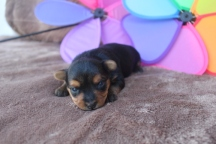 Fantasia T-cup Female Yorkie $2000 Ready 6/8 HAS DEPOSIT MY NEW HOME Ft Lauderdale, FL