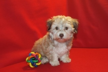 Gabriella Female CKC Havanese $1800 SPECIAL INGUINAL HERNIA NOW $1250 Ready 5/7 SOLD MY NEW HOME FLEMING ISLAND, FL!
