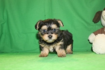 Milo Male CKC Havashire $1750 Ready 5/27 AVAILABLE