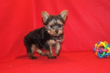Fantasia T-cup Female Yorkie $2000 Ready 6/8 SOLD MY NEW HOME Ft Lauderdale, FL