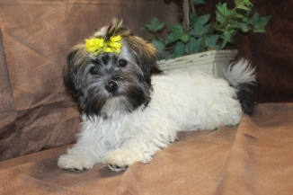 Honey Bunny Female CKC Havanese $1800 Ready 5/7 Has all her vaccine and Rabies completed SOLD MY NEW HOME JAX, FL