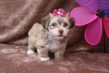 Gabriella Female CKC Havanese $1800 SPECIAL DOUBLE INGUINAL HERNIA NOW $1250 Ready 5/7 AVAILABLE