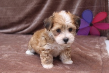 Michael Male CKC Havanese $1800 Ready 5/17 SOLD MY NEW HOME FAIRVIEW, PA .