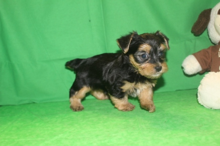 Milton Male CKC Havashire $1750 Ready 5/27 AVAILABLE