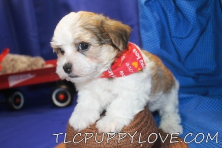 Teddy Bear Male CKC Havanese $1800 BACK TO SCHOOL SPECIAL $1500 HAS DEPOSIT MY NEW HOME ORLANDO, FL