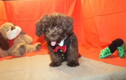 Charlie Male CKC Yorkipoo $2500 HALF PRICE SPECIAL $1250 Ready 5/27 SOLD MY NEW HOME STUART, FL