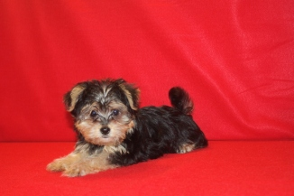 Milo Male CKC Havashire $1750 Ready 5/27 SOLD MY NEW HOME JACKSONVILLE, FL