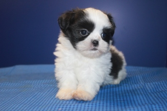 Rio Male CKC Malshipoo $1750 Ready 6/12 AVAILABLE