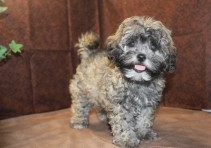 Faith Female CKC Shihpoo $1750 DISCOUNTED $1250 Ready 5/31 AVAILABLE