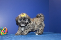 Faith Female CKC Shihpoo $1750 DISCOUNTED $1500 Ready 5/31 AVAILABLE