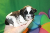 Howie Male CKC Malshi $1750 Ready 6/23 AVAILABLE