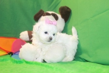 Love CKC Female CKC Shihpoo $1750 Ready 5/31 AVAILABLE