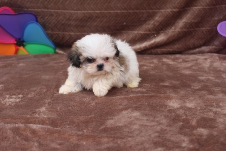 Peanut Male CKC Imperial Shih Tzu $2000 WAIT PUPPY SPECIAL $1500 Ready 5/2 SOLD MY NEW HOME BAXLEY, GA