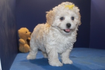 Hope Female CKC Shihpoo $1750 on sale $1500 Ready 5/31 SOLD MY NEW HOME NEW HAVEN, CT