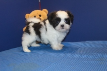 Dallas Male CKC Malshipoo $1750 Ready 6/12 SOLD MY NEW HOME JAX, FL