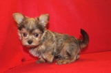 Duke Male CKC Morkie $1750 Ready 6/20 SOLD MY NEW HOME FT WORTH, TX