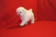 Love CKC Female CKC Shihpoo $1750 Ready 5/31 SOLD! MY NEW HOME CORAL SPRINGS