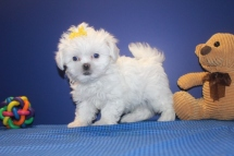 Love CKC Female CKC Shihpoo $1750 Ready 5/31 HAS DEPOSIT MY NEW HOME CORAL SPRINGS