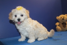 Hope Female CKC Shihpoo $1750 on sale $1500 Ready 5/31 SOLD MY NEW HOME IS NEW HAVEN, CT