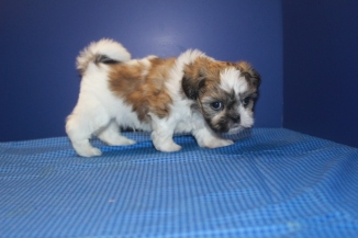 Tex Male CKC Malshipoo $1750 Ready 6/12 SOLD MY NEW HOME JAX, FL