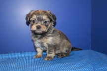 Duke Male CKC Morkie $1750 Ready 6/20 HAS DEPOSIT MY NEW HOME FT WORTH, TX