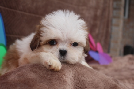 Lola Female Imperial CKC ShihTzu $1750 Ready 5/2 SOLD MY NEW HOME JAX FL