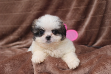 MiMi Female Imperial CKC ShihTzu $1750 Ready 5/2 SOLD MY NEW HOME MILTON, FL