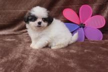 MiMi Female Imperial CKC ShihTzu $1750 Ready 5/2 SOLD MY NEW HOME MILTON, FL
