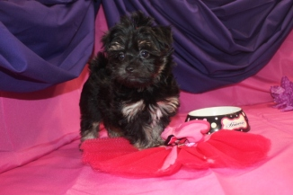 Cassie FeMale CKC Havanese $1800 Ready 7/7 SOLD MY NEW HOME FLEMING ISLAND, FL