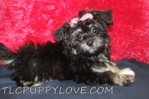 Charley Female CKC Havanese $2000 Ready 7/7 BUT WAIT SUMMER SPECIAL $1600 HAS DEPOSIT MY NEW HOME JACKSONVILLE, FL