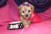 Freedom Female CKC Shorkipoo Ready 7/25 $1750 SOLD MY NEW HOME NEW PORT RICHEY, FL