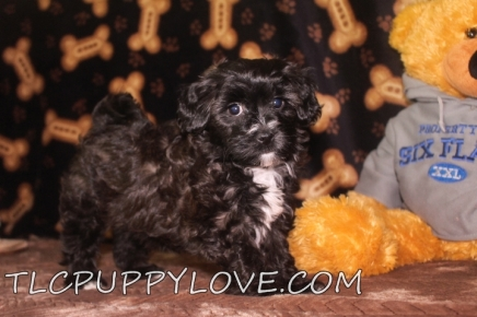 Jake Male CKC Maltipoo $1750 BUT WAIT PUPPY SPECIAL NOW $1500 Ready 8/18 SOLD MY NEW HOME N PALM BCH, FL