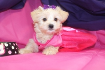 Liberty Female CKC Shorkipoo Ready 7/25 $1750 SOLD MY NEW HOME PONTE VEDRA, FL