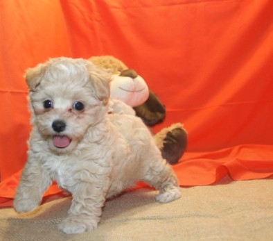 Pierre Male CKC Maltipoo $1750 Ready 7/15 SOLD MY NEW HOME WELLESLEY, MA