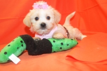 Star Female CKC Shorkipoo $1750 Ready 7/25 SOLD MY NEW HOME PONTE VEDRA, FL
