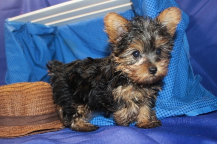 Sold Peanut Male Ckc Yorkie Is A Cutie Pie Tlc Puppy Love