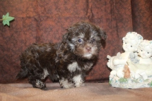 CoCo Female CKC Havanese $2000 Ready 7/7 SOLD MY NEW HOME PACE, FL