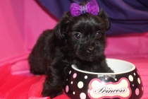 Gabby Female CKC Yorkipoo $1750 Ready 8/7 SOLD MY NEW HOME SANFORD, FL