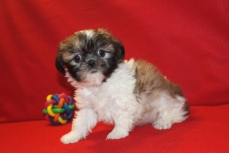 Heidi Female CKC Malshi $1750 Ready 6/23 AVAILABLE